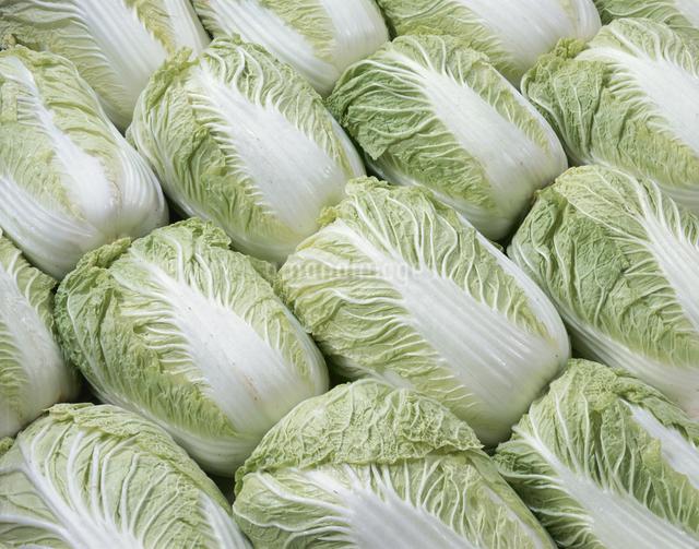 白菜の写真素材 [FYI03905341]