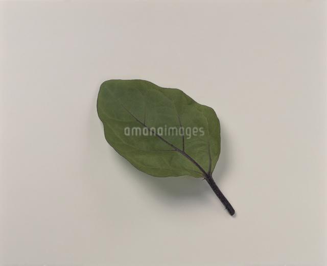 なすの葉の写真素材 [FYI03905382]