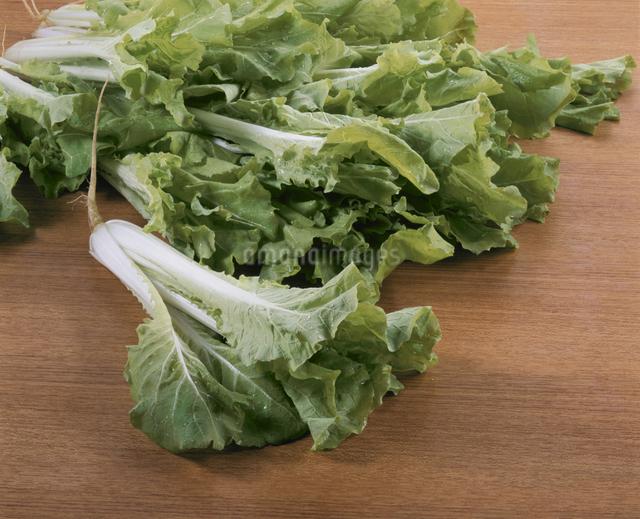 山東菜(白菜系)の写真素材 [FYI03905524]