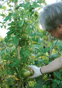 菜園で収穫する中高年男性の写真素材 [FYI03911807]