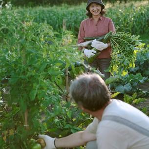 菜園で収穫するシニア夫婦の写真素材 [FYI03911808]