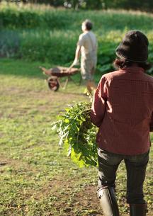 菜園で収穫するシニア夫婦の写真素材 [FYI03911811]