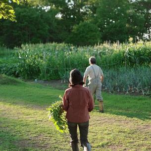菜園で収穫するシニア夫婦の写真素材 [FYI03911812]