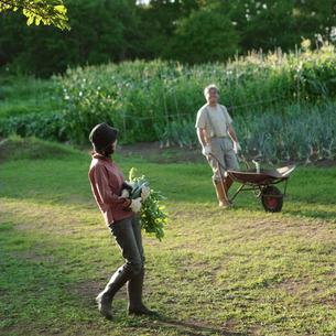 菜園で収穫するシニア夫婦の写真素材 [FYI03911813]