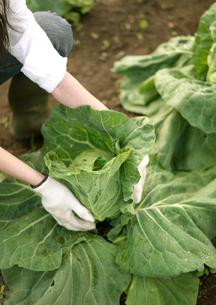 キャベツを収穫している女性の写真素材 [FYI03912053]