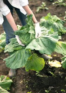 キャベツを収穫している女性の写真素材 [FYI03912055]