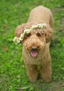 花冠を被った犬の写真素材 [FYI03912165]