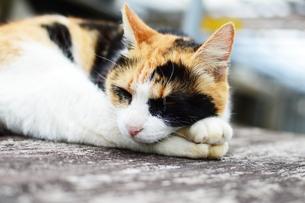 のんびり休んでる三毛猫の写真素材 [FYI03913231]
