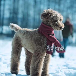 雪原に立つ犬の写真素材 [FYI03913276]