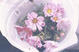 英字新聞にくるんだピンクコスモスの写真素材 [FYI03913402]