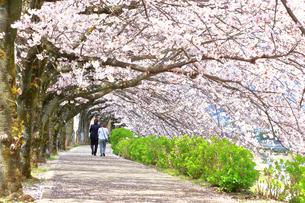 秦野市 水無川の桜並木の写真素材 [FYI03913414]