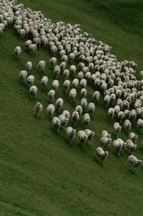 牧場の羊の写真素材 [FYI03913532]