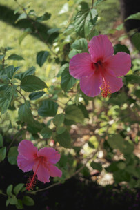 ハイビスカスの花の写真素材 [FYI03913630]