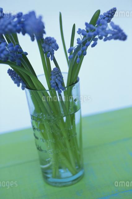 グラスに生けたムスカリの写真素材 [FYI03913712]