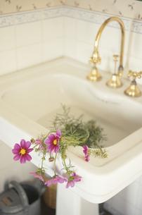 洗面台に置いたコスモスの写真素材 [FYI03913755]