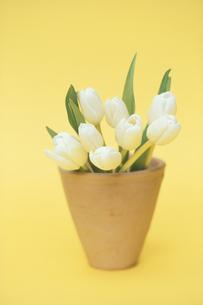 植木鉢に入れた白チューリップ8本の写真素材 [FYI03913777]