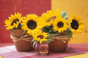 2個の植木鉢と缶それぞれに生けたひまわりの写真素材 [FYI03913811]