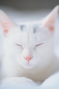 目を細めた白い猫の写真素材 [FYI03913856]