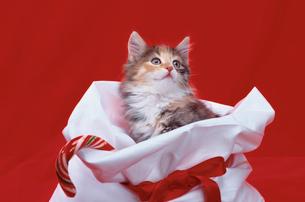 白いプレゼント袋に入った猫の写真素材 [FYI03914045]
