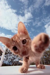 パンチする仔猫の写真素材 [FYI03914051]
