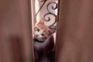 カーテンの隙間から覗く猫の写真素材 [FYI03914054]
