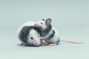 パンダマウス2匹の写真素材 [FYI03914135]
