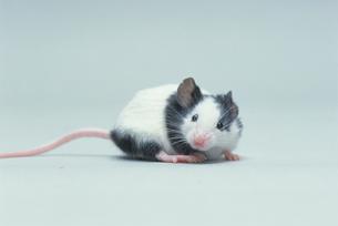 パンダマウスの写真素材 [FYI03914136]