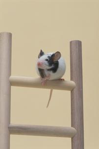 パンダマウスの写真素材 [FYI03914137]