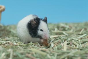 パンダマウスの写真素材 [FYI03914138]