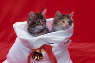 2匹のネコとクリスマスの写真素材 [FYI03914161]