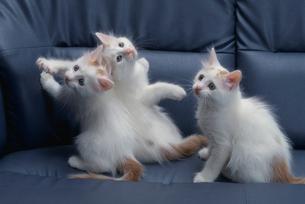 3匹のネコ(ターキッシュバン)の写真素材 [FYI03914249]