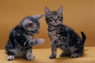 2匹のネコの写真素材 [FYI03914379]