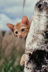 木に登るネコの写真素材 [FYI03914390]