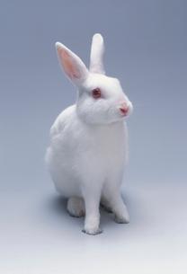 ウサギ(ジャパニーズホワイト)の写真素材 [FYI03914404]