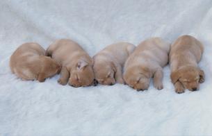 横たわる5匹の犬(ラブラドールレトリバー)の写真素材 [FYI03914603]