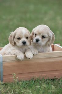 草原で箱から顔を出す2匹の犬(キャバリア)の写真素材 [FYI03914612]