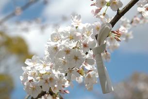桜の写真素材 [FYI03914713]