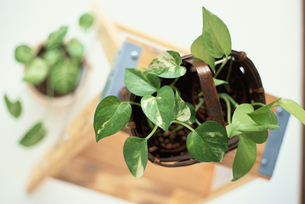 観葉植物の写真素材 [FYI03914859]