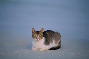 ビーチに座るネコの写真素材 [FYI03915123]