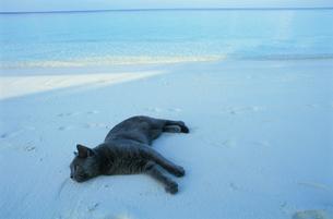 ビーチに寝転がるネコの写真素材 [FYI03915128]