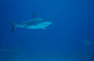 サメ(ブラックチップ)の写真素材 [FYI03915350]