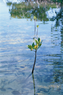 マングローブの芽の写真素材 [FYI03915485]