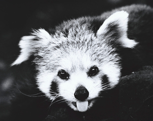 レッサーパンダの写真素材 [FYI03915502]
