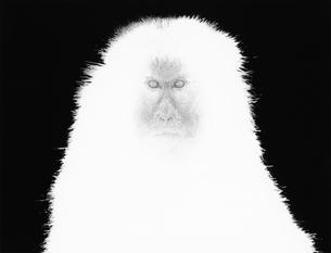 ニホンザルの写真素材 [FYI03915510]