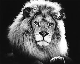 ライオンの写真素材 [FYI03915511]