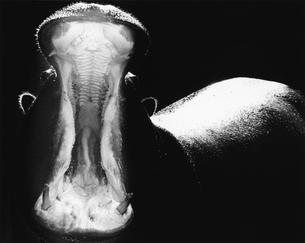 口を開けるカバの写真素材 [FYI03915515]