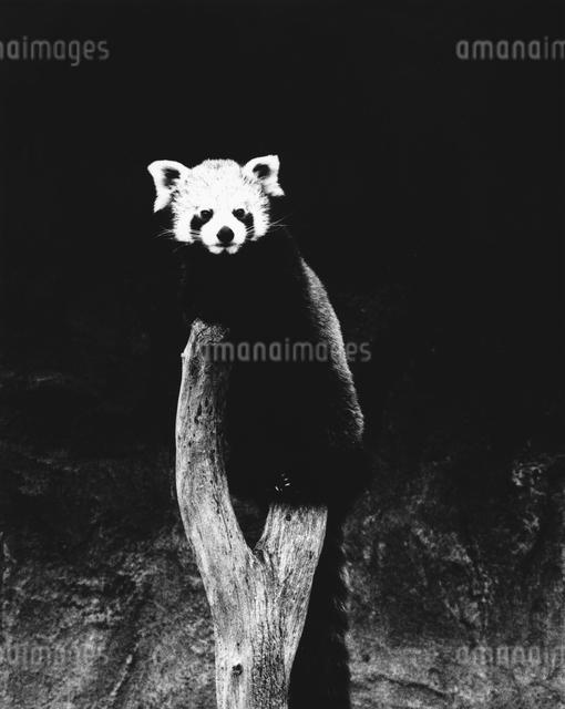 レッサーパンダの写真素材 [FYI03915532]