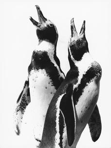 2羽のペンギンの写真素材 [FYI03915546]
