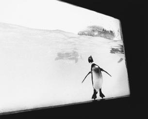 水槽の中のペンギンの写真素材 [FYI03915547]