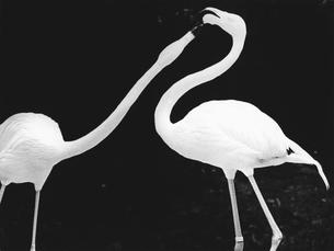 2羽のフラミンゴの写真素材 [FYI03915548]